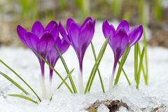 Violet crocuses in winter stock images