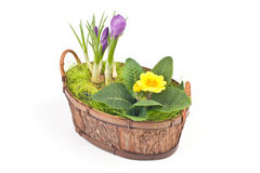 Violet crocuses and yellow primrose Stock Photography