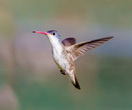 Violet Crowned Hummingbird Male Royalty-vrije Stock Foto