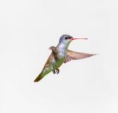 Violet Crowned Hummingbird Male Stock Afbeelding