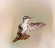 Violet Crowned Hummingbird Male. Royalty Free Stock Photo