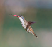 Violet Crowned Hummingbird Male. Violet Crowned Hummingbird. Using different backgrounds the bird becomes more interesting and blends with the colors. These royalty free stock photography