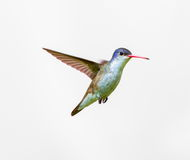 Violet Crowned Hummingbird Male. Violet Crowned Hummingbird. Using different backgrounds the bird becomes more interesting and blends with the colors. These royalty free stock photo