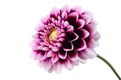 Violet dahlia. Close-up of beautiful violet dahlia isolated on a white background Stock Images