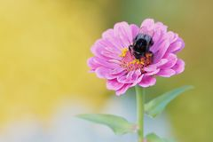 Violet dahlia flower with bumble bee on it. Bumble bee on a pink dahlia flower collecting pollen stock photos