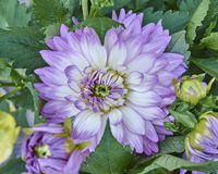 Violet Dahlia flower closeup Stock Photo