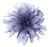 Violet Dahlia Flower White Background Isolated With Clipping Path. Closeup. For Design. Royalty Free Stock Images