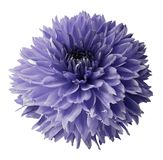 Violet dahlia. Flower on a white  isolated background with clipping path.  For design.  Closeup. Nature Royalty Free Stock Image