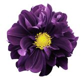 Violet dahlia. Flower on a white  isolated background with clipping path.  For design.  Closeup. Nature Stock Photo