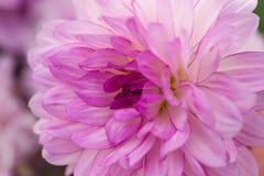 Violet dahlia macro Stock Images