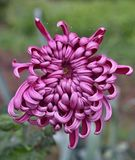Violet dahlia in the rain Royalty Free Stock Images