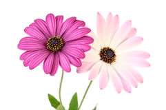 Violet Daisies. Isolated on white background Royalty Free Stock Photography