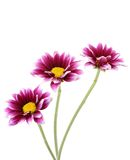 Violet daisies Royalty Free Stock Image