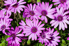 Violet daisies blossom Royalty Free Stock Photos