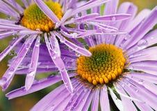 Violet daisies in garden Stock Photography