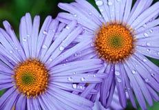 Violet daisies in garden Stock Images