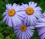 Violet daisies in garden Royalty Free Stock Images