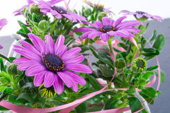 Violet daisies Royalty Free Stock Photos