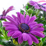Violet daisies Stock Photo
