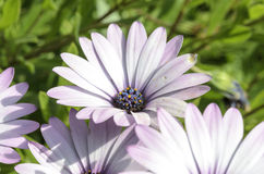 Violet Daisies royalty free stock images
