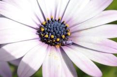 Violet Daisies royalty free stock photos