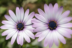 Violet Daisies Royalty Free Stock Photography