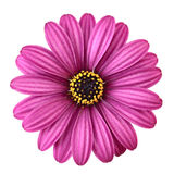 Violet Daisy. From above, isolated on white background Royalty Free Stock Image