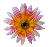 Violet daisy Stock Photography