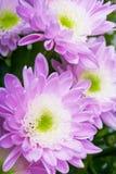 Violet daisy Stock Photo