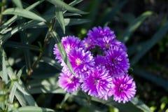 Violet Daisy blomma Arkivbild