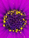 Violet daisy flower center. Daisy flower center. Violet petals and yellow anthers. Abstract background or texture royalty free stock photos