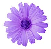 Violet daisy flower on a white isolated background with clipping path. Flower for design, texture,  postcard, wrapper.  Closeup. Nature Royalty Free Stock Image