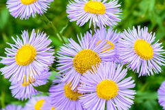 Violet daisy flowers close up royalty free stock photo