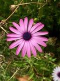 Violet daisy, garden flower stock images