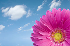Violet Daisy Gerber. Looking at the sky in a wonderful sunny day in spring. Beautiful flower! Space for text royalty free stock photography