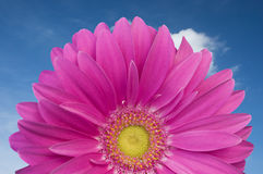 Violet Daisy Gerber. Hslf violet Daisy gerber looking at the sky in a wonderful sunny day in spring. Beautiful flower royalty free stock image
