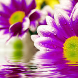 Violet daisy-gerbera. Closeup of violet daisy-gerbera reflected in the water Stock Photography
