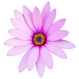 Violet Daisy Stock Photo