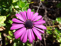 Violet daisy Stock Photos