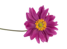 Violet daisy isolated Royalty Free Stock Images