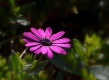 Violet Daisy mit dunklem Hintergrund Lizenzfreie Stockfotos
