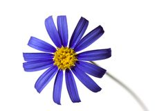 Violet Daisy in the Springtime,isolated on white Royalty Free Stock Images