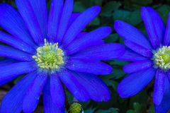 Violet Daisy. Vividly colored daisy like spring blooms at Port Defiance Park in Tacoma, Washington Royalty Free Stock Photography