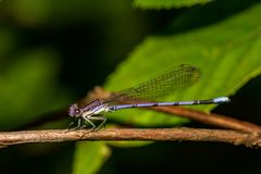 Violet Dancer Damselfly. A close up of a Violet Dancer resting on a branch Stock Photography