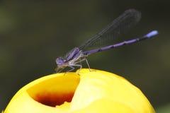 Violet Dancer em um lírio de lagoa amarela fotografia de stock
