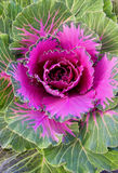 Violet decorative cabbage Stock Images