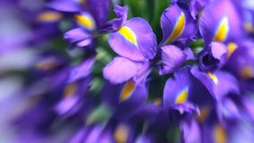 Violet delicate iris flowers. Elegant, abstraction, tender flower background. Soft, selective focus, lensbaby image