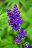 Violet delphinium flowers Stock Images