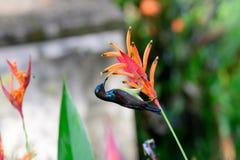 Violet dragen tillbaka sunbird som festar på nektar Arkivfoto