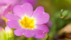 Violet Dreams. Macro of a violet Garden Flower Stock Photo